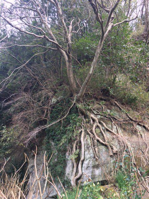 北鎌倉のお寺にある木は、気になる木?