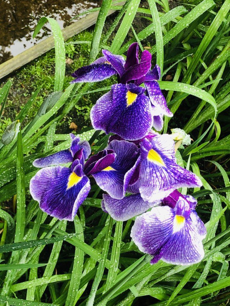 明月院の紫陽花に会いにいきました
